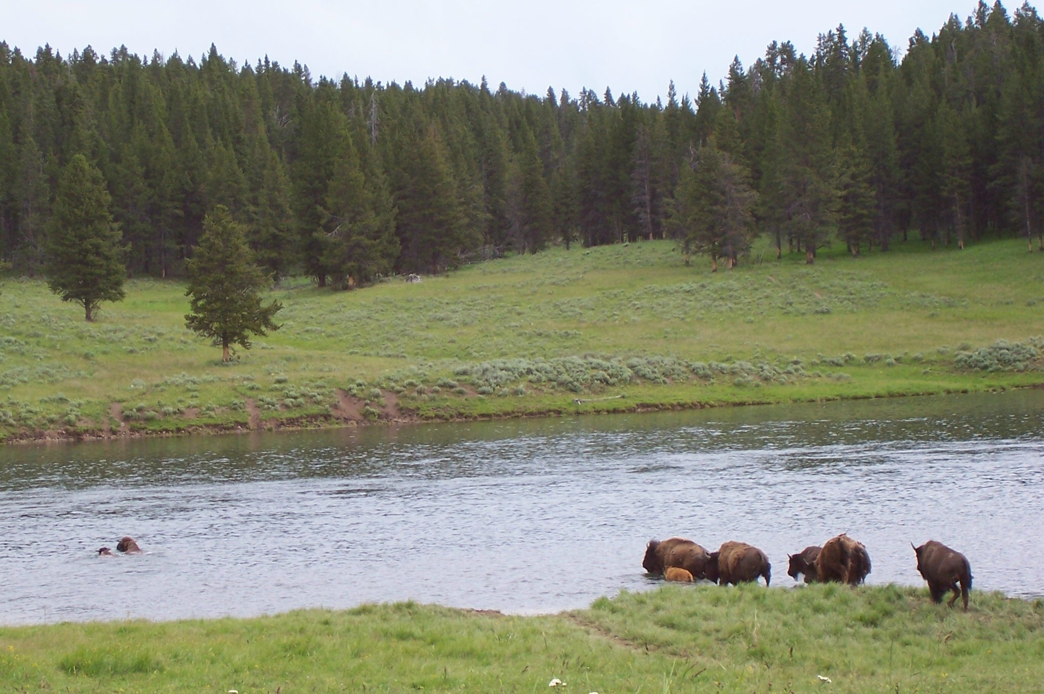 Buffalo Crossing the Yellowstone River.